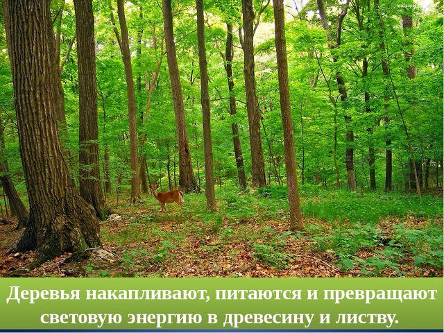 Деревья накапливают, питаются и превращают световую энергию в древесину и лис...