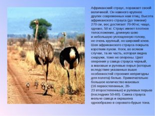 Африканский страус, поражает своей величиной. Оннамного крупнее других совре