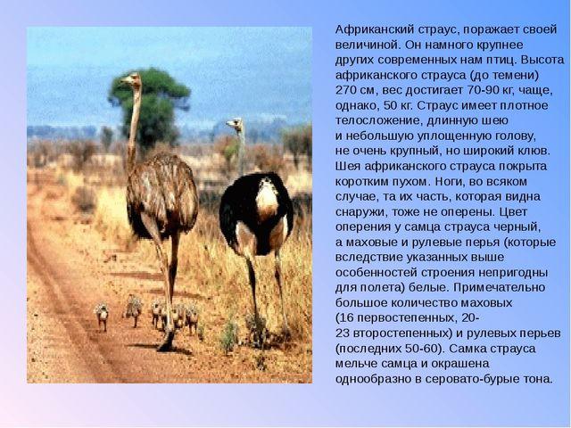 Африканский страус, поражает своей величиной. Оннамного крупнее других совре...
