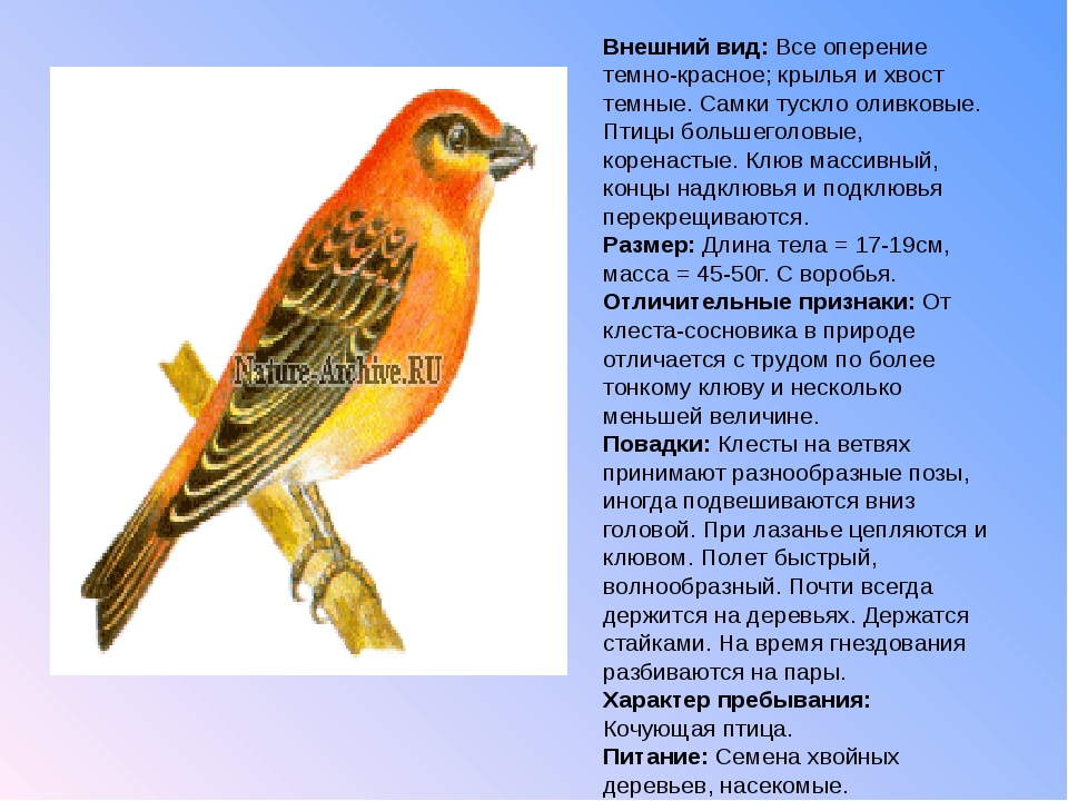 Внешний вид: Все оперение темно-красное; крылья и хвост темные. Самки тускло...