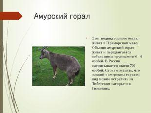 Амурский горал Этот подвид горного козла, живет в Приморском крае. Обычно аму