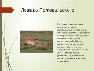 Лошадь Пржевальского На Земле остались всего около двух тысяч представителей