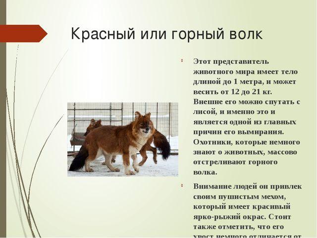 Красный или горный волк Этот представитель животного мира имеет тело длиной д...