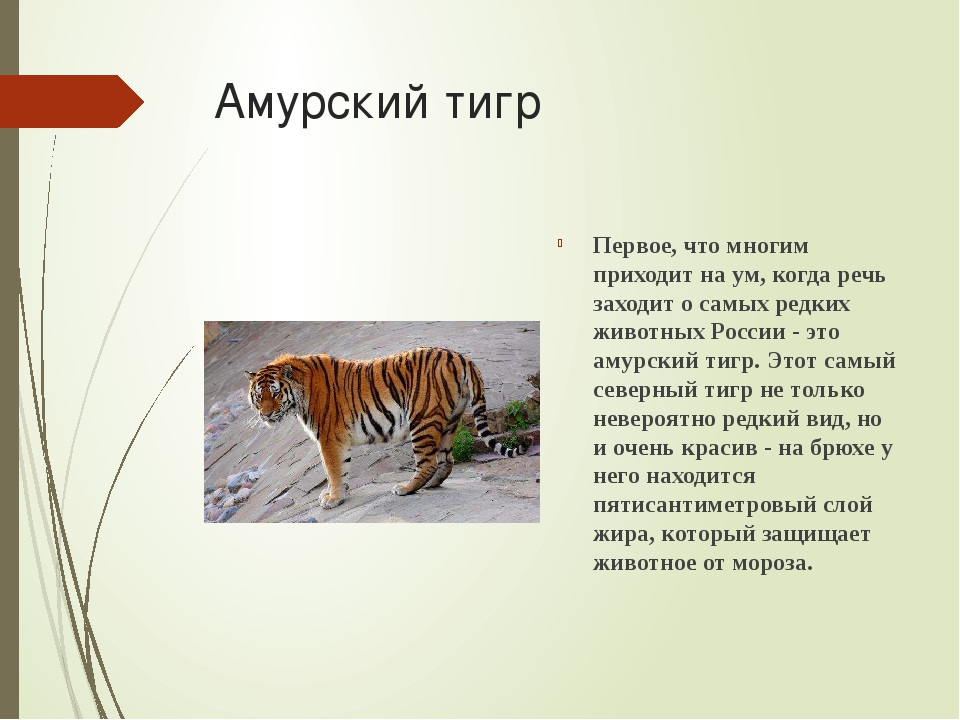 Амурский тигр Первое, что многим приходит на ум, когда речь заходит о самых р...