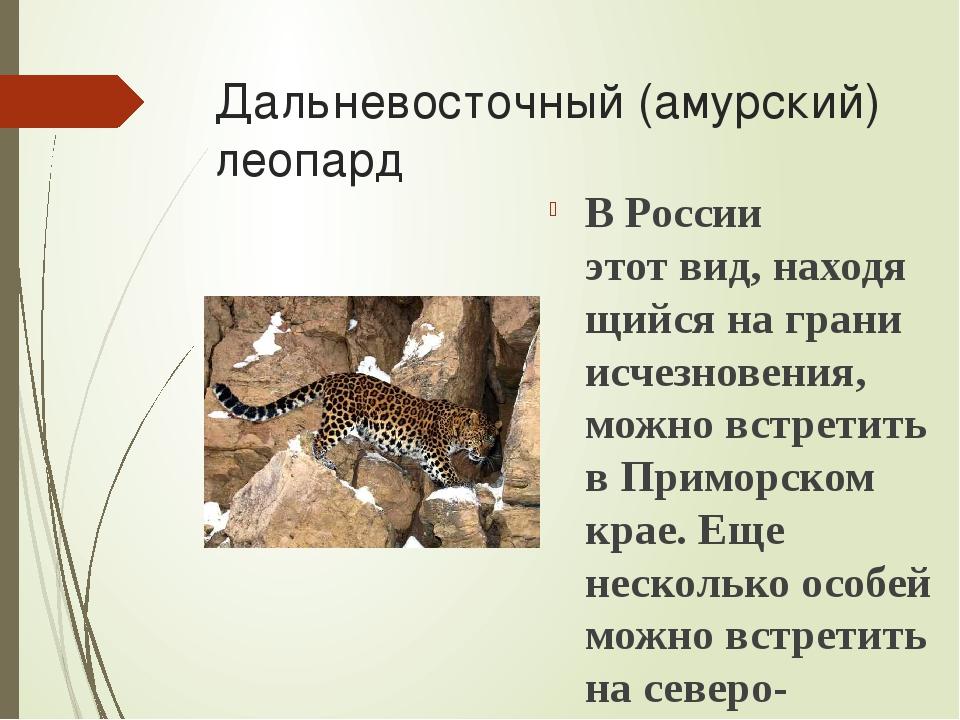 Дальневосточный (амурский) леопард В России этотвид,находящийся на грани ис...