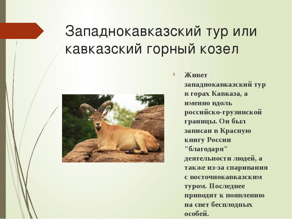 Западнокавказский тур или кавказский горный козел Живет западнокавказский тур...