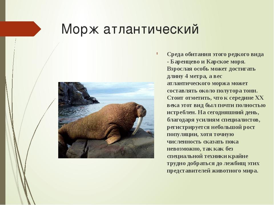 Морж атлантический Среда обитания этого редкого вида - Баренцево и Карское мо...