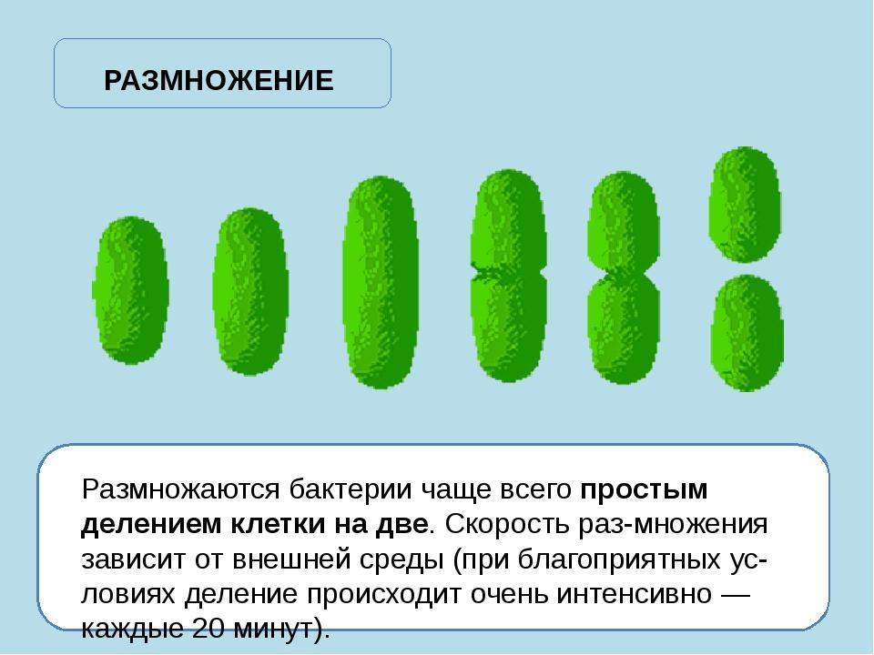 Размножаются бактерии чаще всего простым делением клетки на две. Скорость ра...