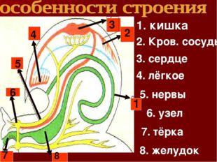 6 1 2 3 4 5 7 8 1. кишка 2. Кров. сосуды 3. сердце 4. лёгкое 5. нервы 6. узел