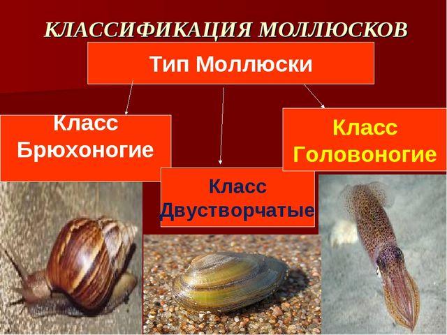 КЛАССИФИКАЦИЯ МОЛЛЮСКОВ Тип Моллюски Класс Брюхоногие Класс Двустворчатые Кла...