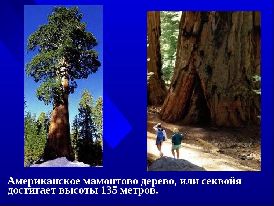 Американское мамонтово дерево, или секвойя достигает высоты 135 метров.