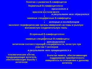 Понятие о развитии В-лимфоцитов Первичный В-лимфоцитопоэз происходит в красно