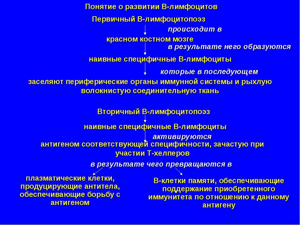 Понятие о развитии В-лимфоцитов Первичный В-лимфоцитопоэз происходит в красно...