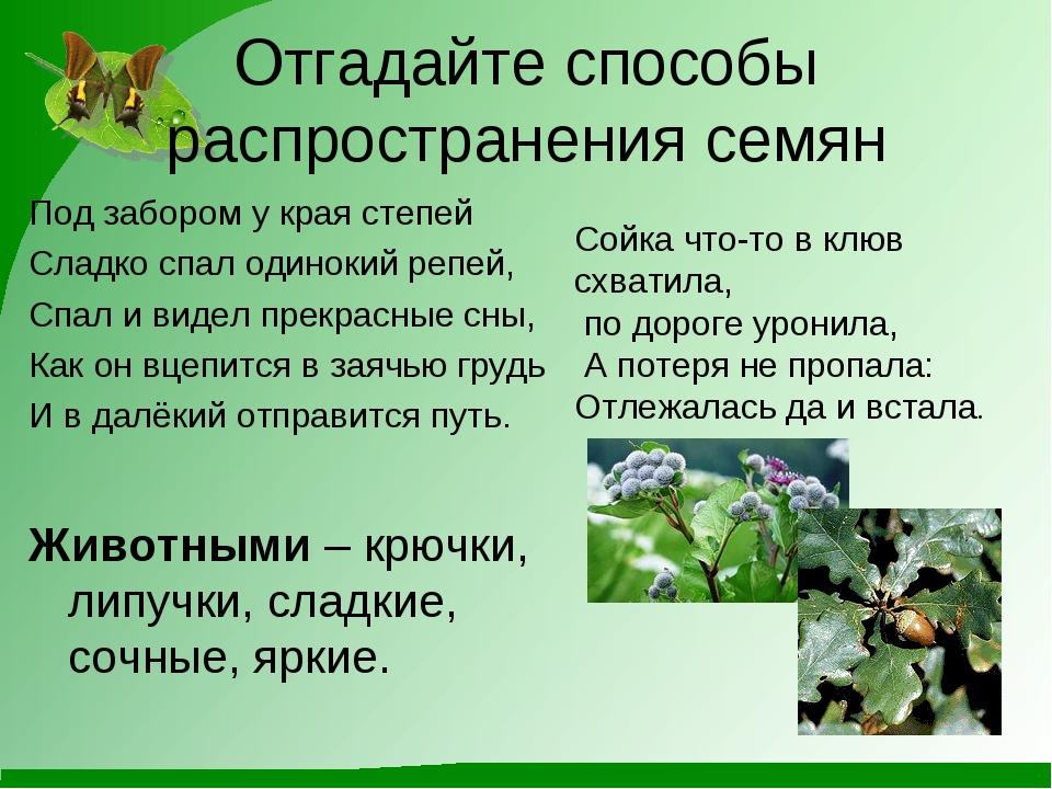 Отгадайте способы распространения семян Под забором у края степей Сладко спал...