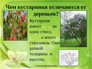 Чем кустарники отличаются от деревьев? Кустарник имеет не один ствол, а много