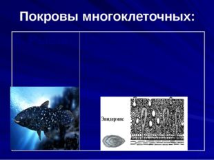 Покровы многоклеточных: 5. Рыбы Кожа состоит из эпидермиса. Тело рыб покрыто