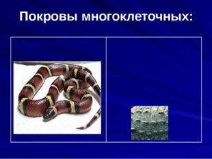 Покровы многоклеточных: 7.Пресмыкающиеся Кожа сухая, покрыта роговыми чешуйка