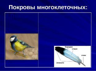 Покровы многоклеточных: 8.Птицы Кожа птиц сухая, не имеет желез, тело покрыто