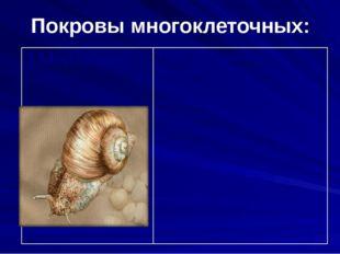 Покровы многоклеточных: 3.Моллюски Тело моллюсков покрыто эпителием. Для всех