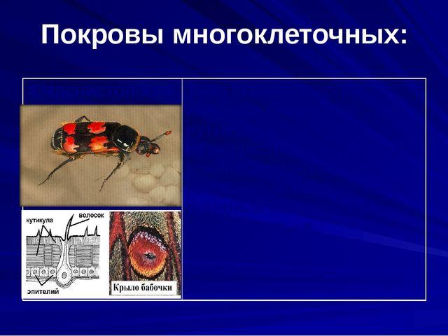 Покровы многоклеточных: 4.Членистоногие Тело членистоногих покрыто хитиновой...