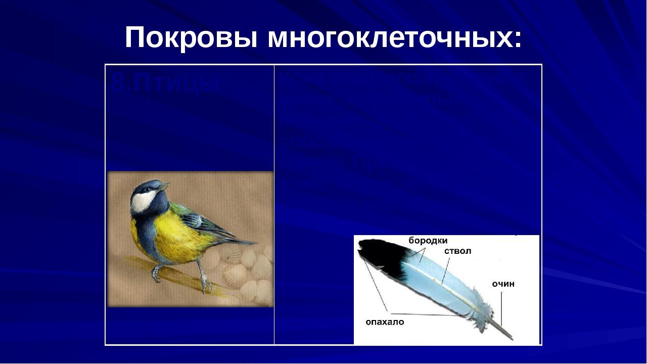 Покровы многоклеточных: 8.Птицы Кожа птиц сухая, не имеет желез, тело покрыто...