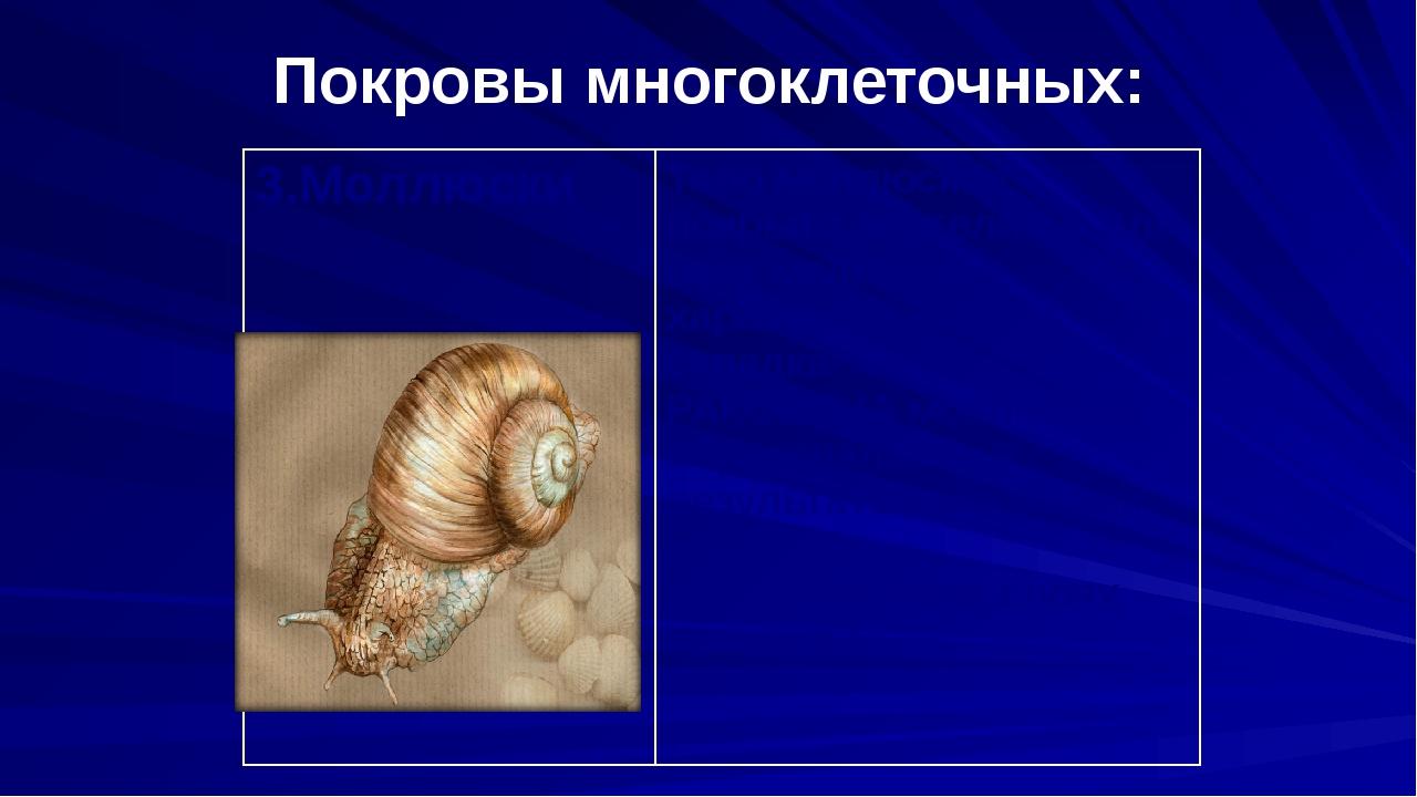 Покровы многоклеточных: 3.Моллюски Тело моллюсков покрыто эпителием. Для всех...