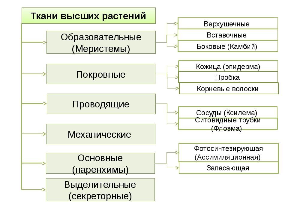 Ткани высших растений Образовательные (Меристемы) Покровные Проводящие Основн...