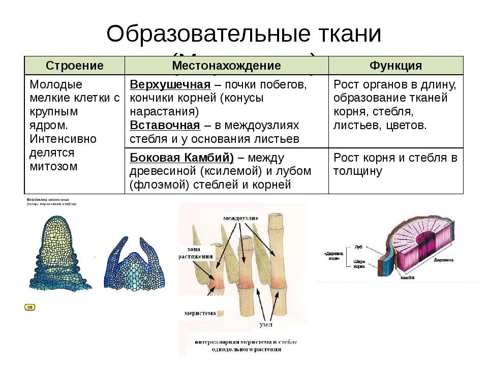 Образовательные ткани (Меристемы) вставочная Строение Местонахождение Функция...