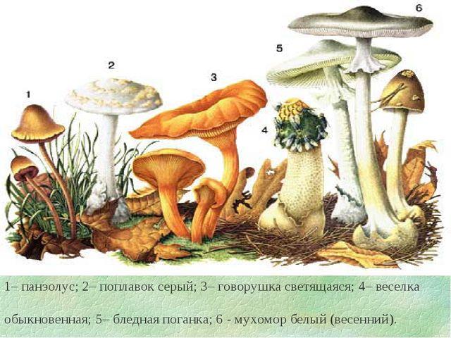 1– панэолус; 2– поплавок серый; 3– говорушка светящаяся; 4– веселка обыкнове...