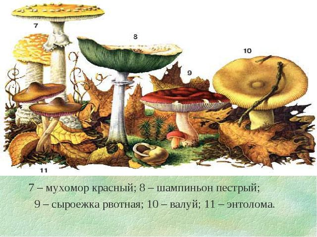 7 – мухомор красный; 8 – шампиньон пестрый; 9 – сыроежка рвотная; 10 – валуй...