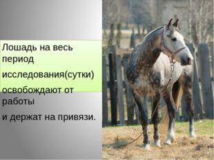 Лошадь на весь период исследования(сутки) освобождают от работы и держат на п