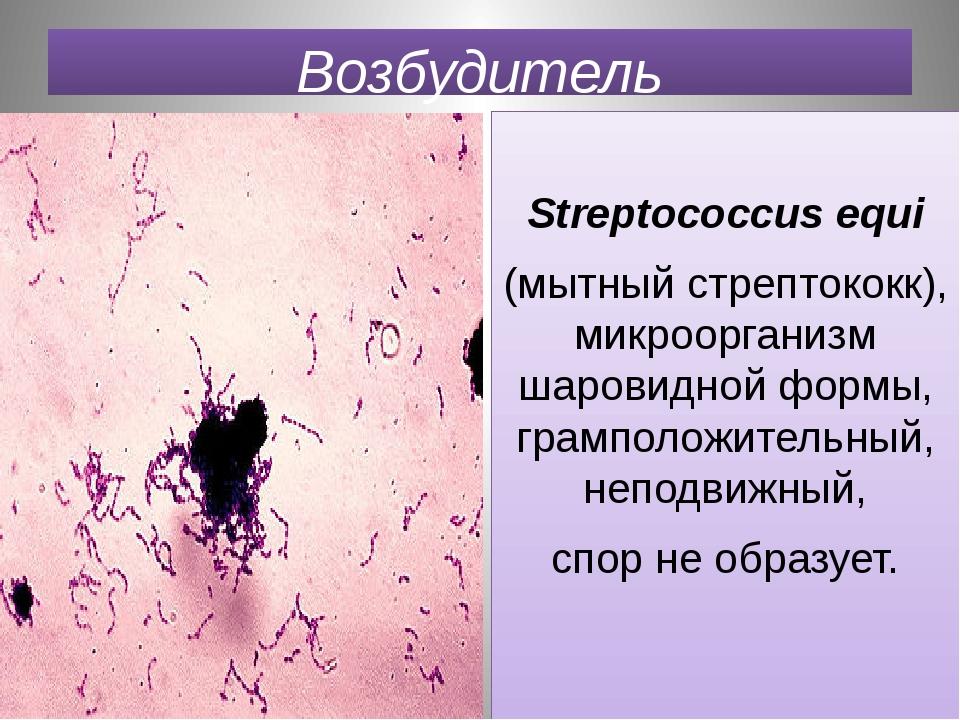 Возбудитель Streptococcus equi (мытный стрептококк), микроорганизм шаровидной...