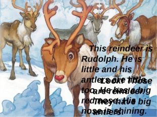 Look! Those are reindeer. They have big antlers. This reindeer is Rudolph. H