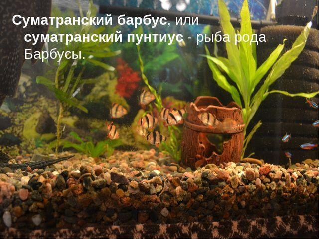 Суматранский барбус, или суматранский пунтиус - рыба рода Барбусы.