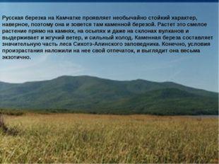 Русская березка на Камчатке проявляет необычайно стойкий характер, наверное,