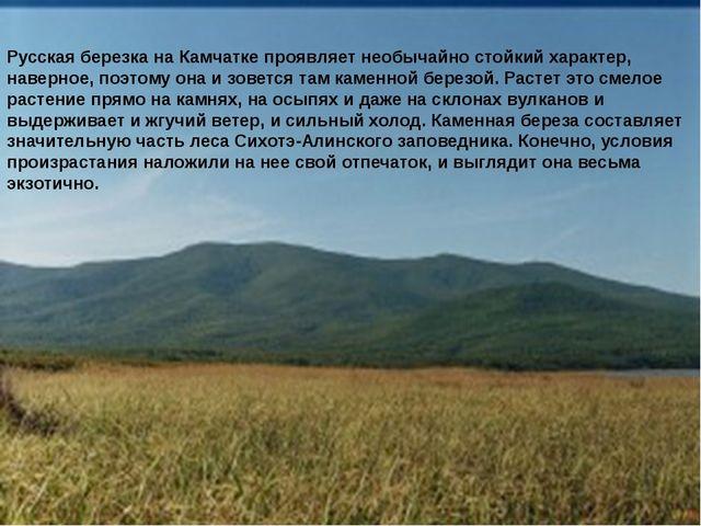 Русская березка на Камчатке проявляет необычайно стойкий характер, наверное,...