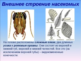 Внешнее строение насекомых На голове расположены сложные глаза, два длинных у