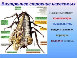 Внутреннее строение насекомых Насекомые имеют кровеносную, дыхательную, выдел