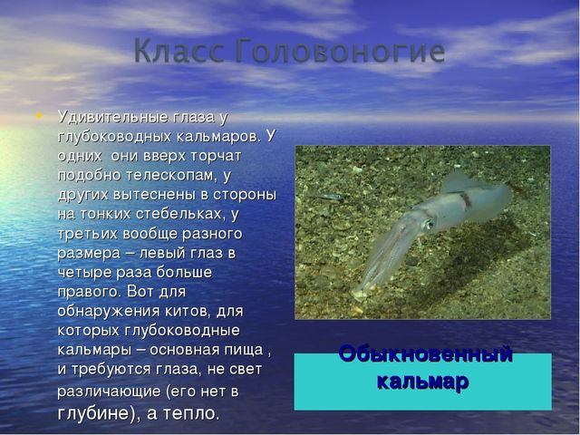 Обыкновенный кальмар Удивительные глаза у глубоководных кальмаров. У одних он...