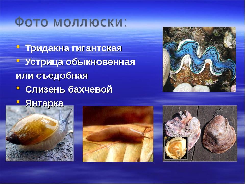 Тридакна гигантская Устрица обыкновенная или съедобная Слизень бахчевой Янтарка