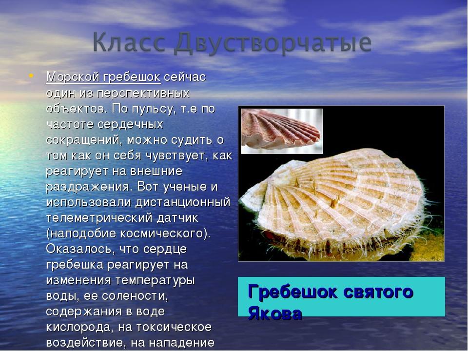 Гребешок святого Якова Морской гребешок сейчас один из перспективных объектов...