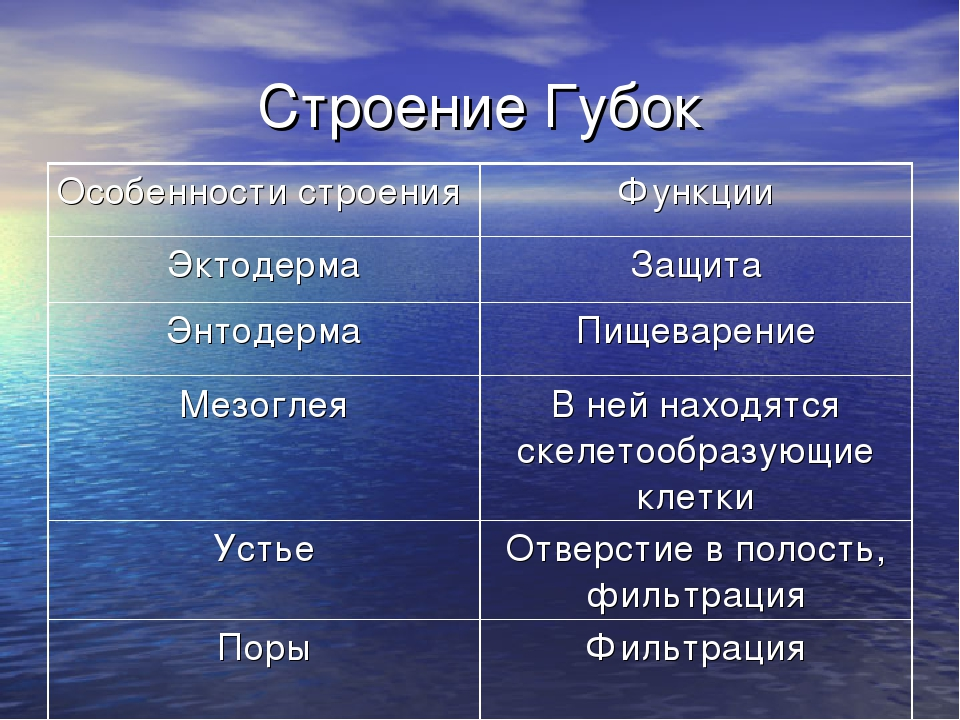 Строение Губок Особенности строенияФункции ЭктодермаЗащита ЭнтодермаПищева...