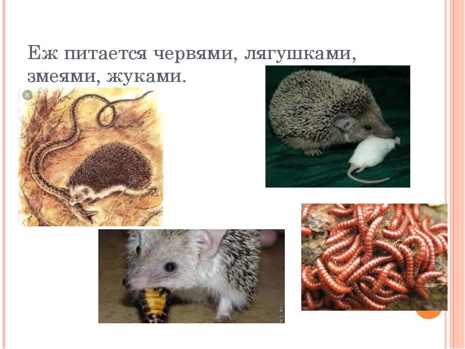 Еж питается червями, лягушками, змеями, жуками.