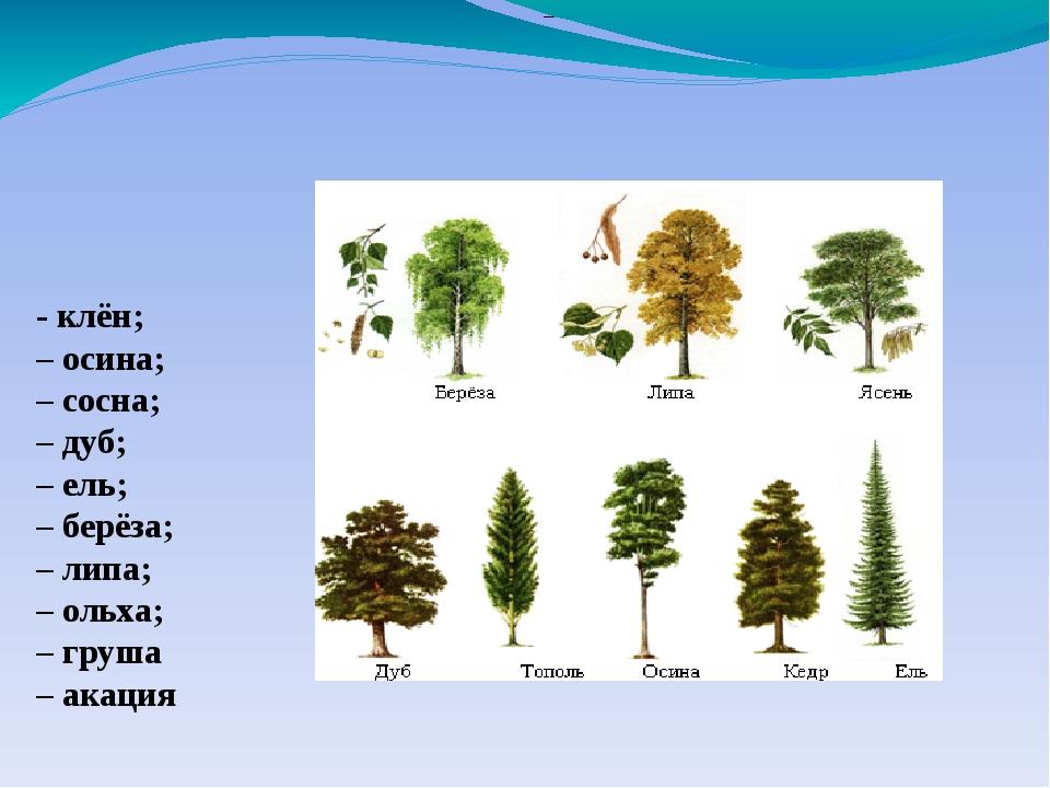 – - клён; – осина; – сосна; – дуб; – ель; – берёза; – липа; – ольха; – груша...
