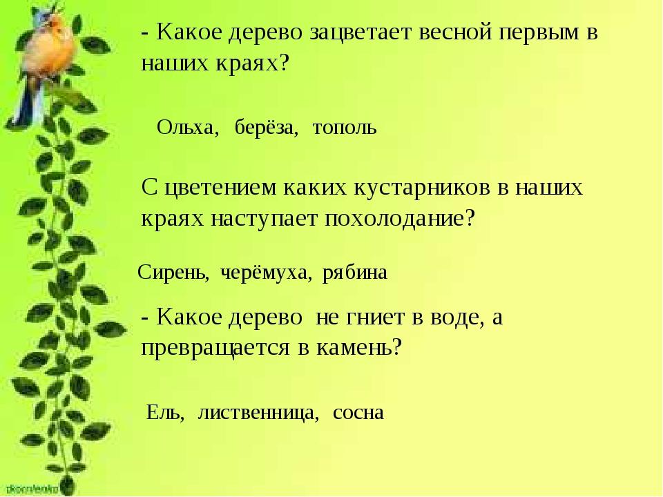 - Какое дерево зацветает весной первым в наших краях? Ольха, берёза, тополь С...