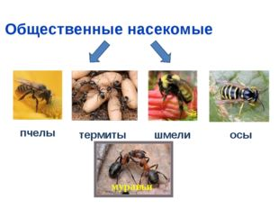 Общественные насекомые пчелы термиты шмели осы муравьи