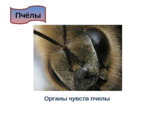 Пчёлы Органы чувств пчелы