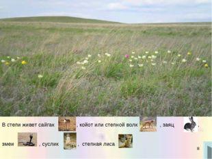 * В степи живет сайгак , койот или степной волк , заяц , змеи , суслик , степ