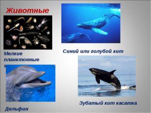 Животные Мелкие планктонные животные Синий или голубой кит Дельфин Зубатый ки