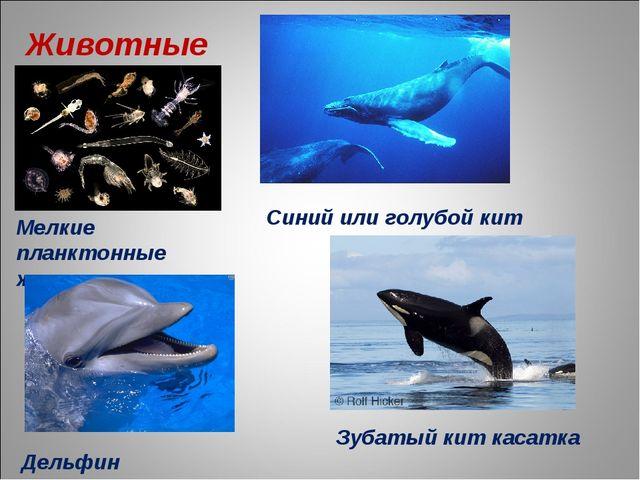 Животные Мелкие планктонные животные Синий или голубой кит Дельфин Зубатый ки...